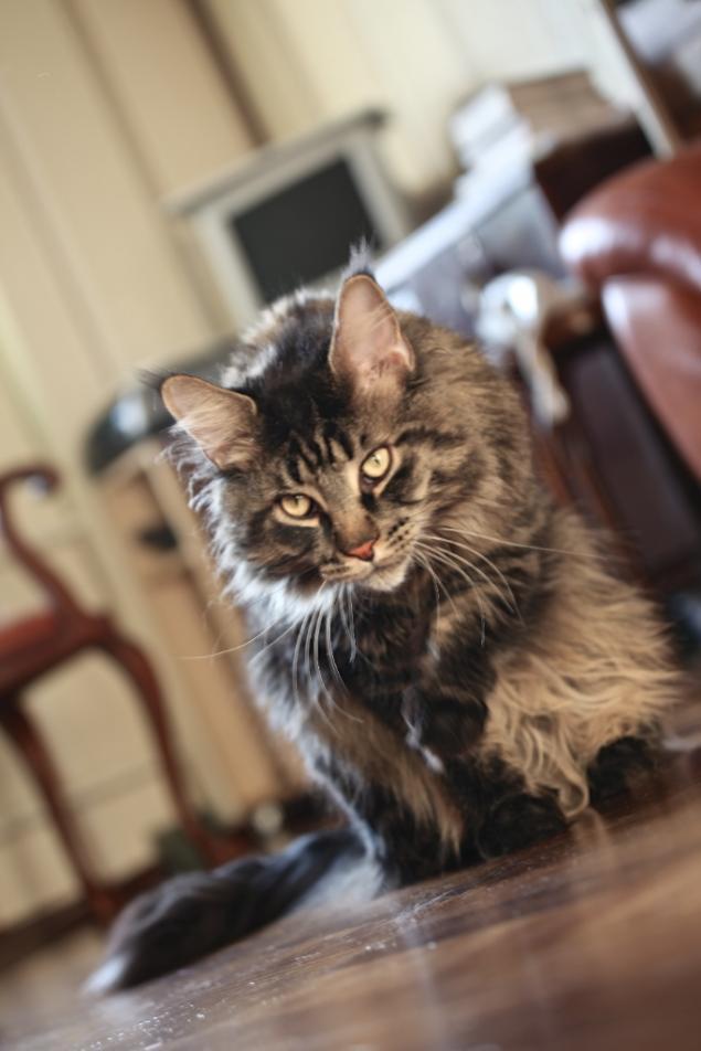 Кошачьи истории нашего дома, часть 4 Мотя, мейн кун - поскакун, фото № 5