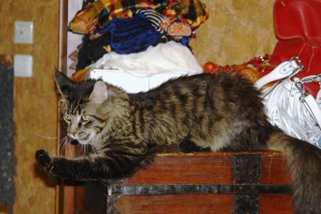 Кошачьи истории нашего дома, часть 4 Мотя, мейн кун - поскакун, фото № 9