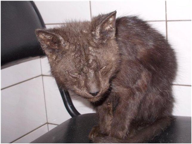 Кошачий иммунодефицит
