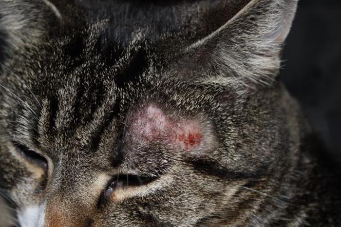 кошачий лишай симптомы лечение у кошки и человека