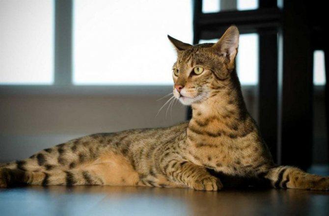 Кошка ашера - кошка саванна