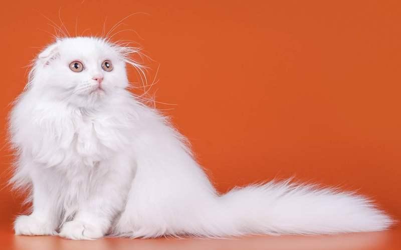 кошка белого окраса породы хайленд фолд