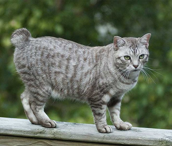 кошка бобтейл характер