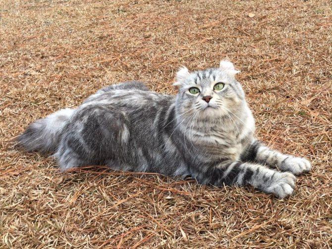 кошка британская хайлендер