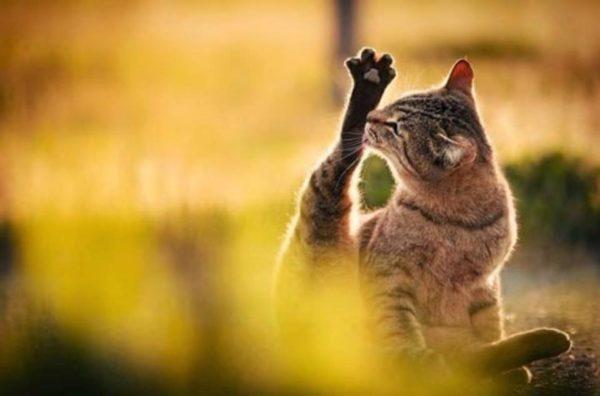Кошка будет вылизывать каждый сантиметр тела, пока полностью не высохнет