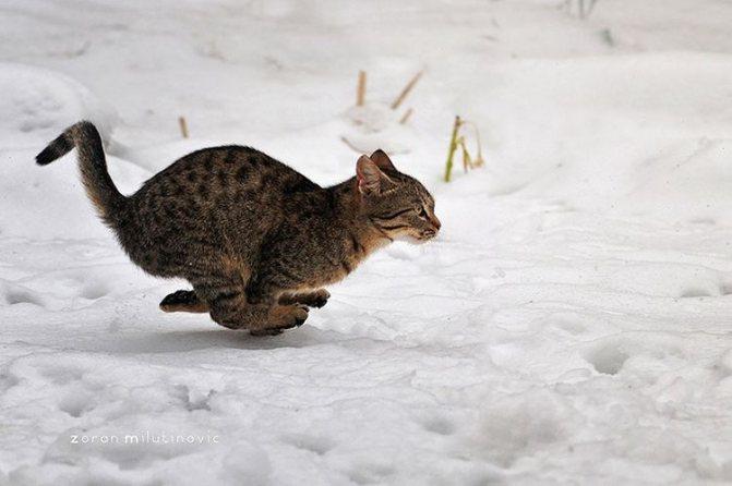 Кошка быстро бежит