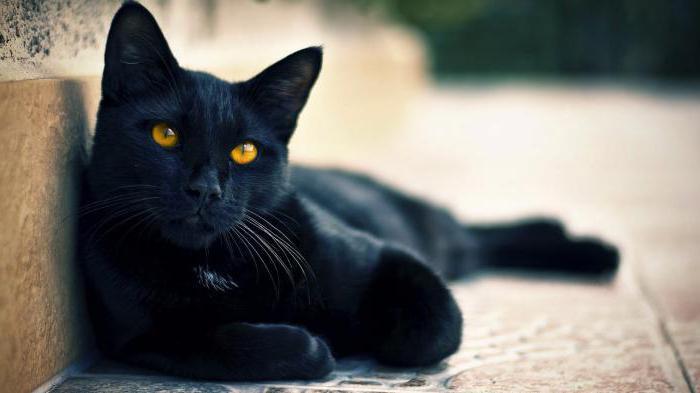 кошка черная породы