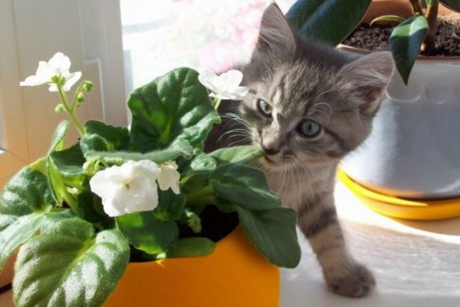 кошка ест комнатные растения