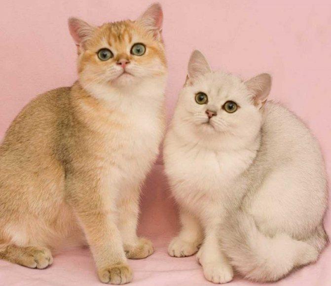 Кошка и кот шиншиллы