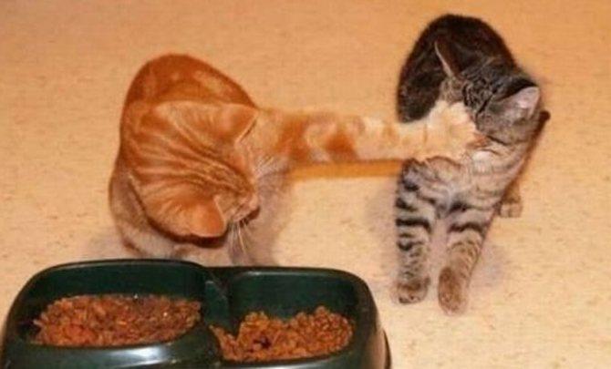 Кошка кашляет и хрипит вытягиваясь и прижимаясь