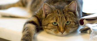 Кошка кашляет, как будто подавилась, хочет вырвать, что делать, если хрипит, чихает, как лечить