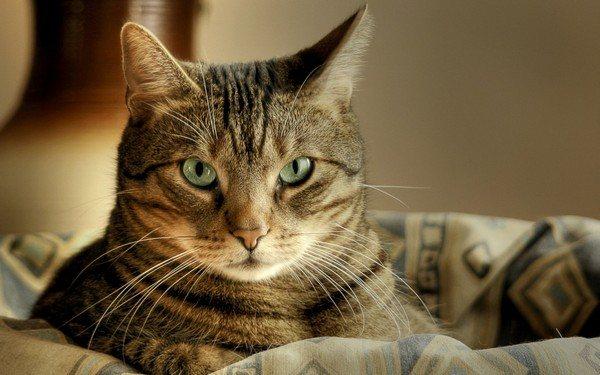 Кошка классического полосатого окраса