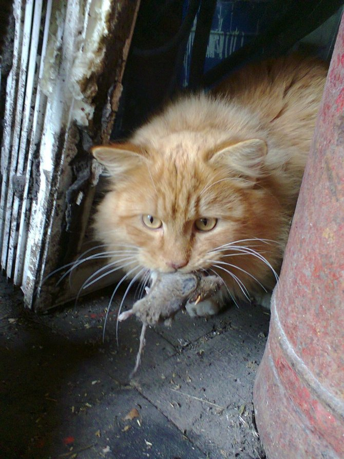 Кошка может отравиться мышью