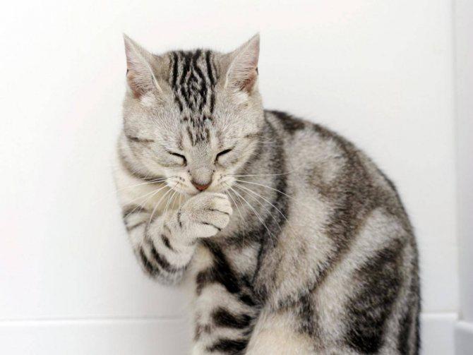 Кошка может отравиться, слизывая с себя вредные вещества
