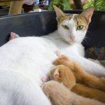 кошка мяукает после родов