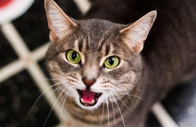 Кошка мяукает