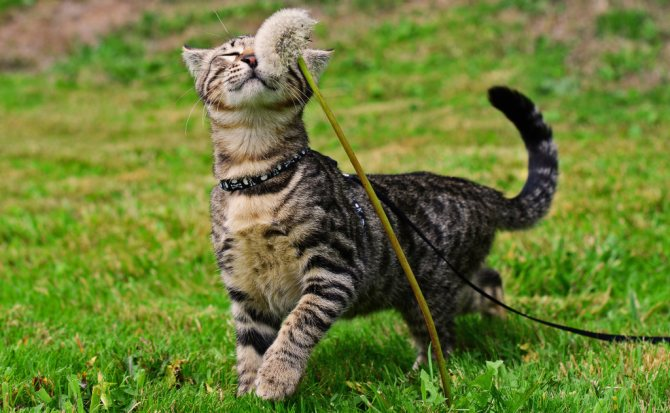 кошка-на-поводке-1.jpg