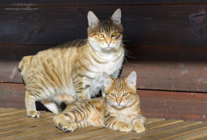 кошка породы курильский бобтейл с котенком