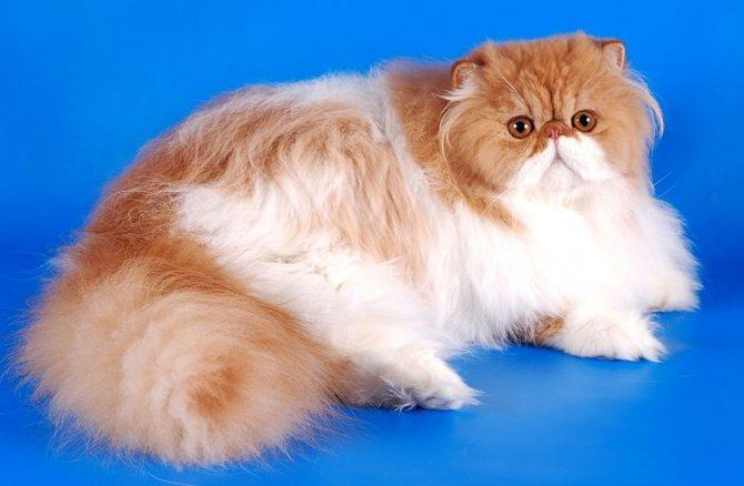 Кошка породы персидская