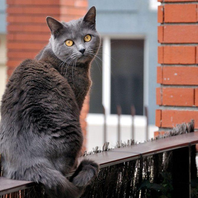Кошка породы шартрез.jpg
