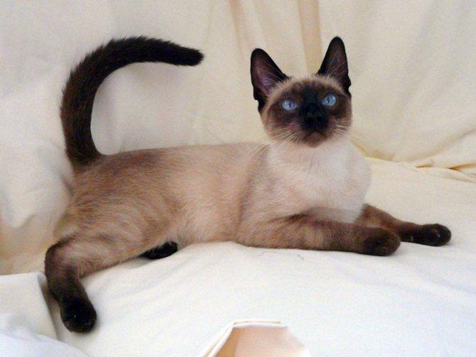 кошка породы сиамская