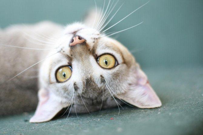 Кошка породы сингапура