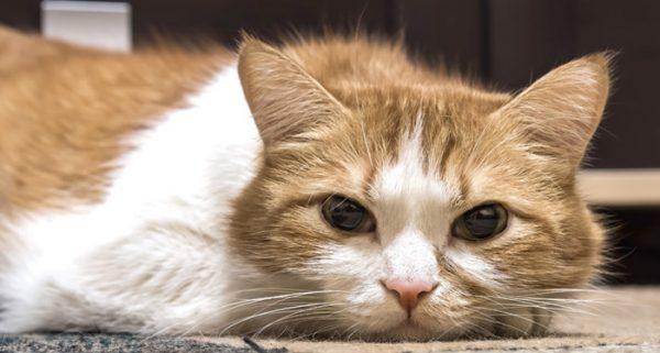 Кошка постоянно спит и вялая: норма или патология