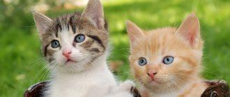 Кошка просит кота как ее успокоить в домашних условиях, если она орет и хочет