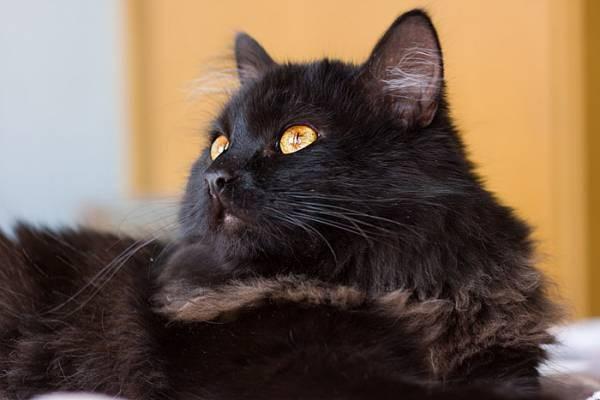 Кошка редкой породы