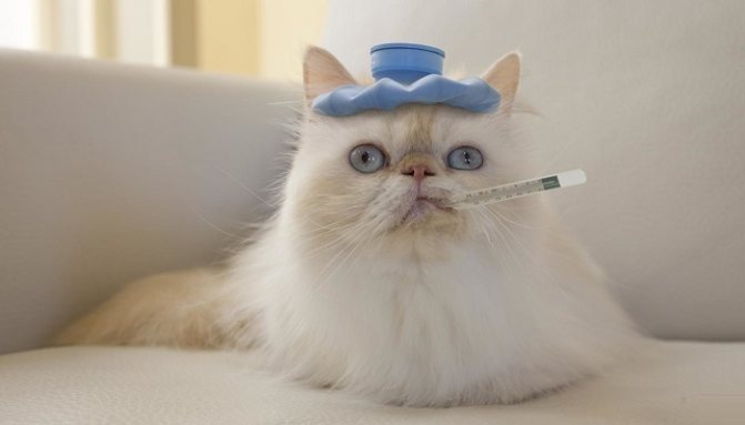 Кошка с градусником