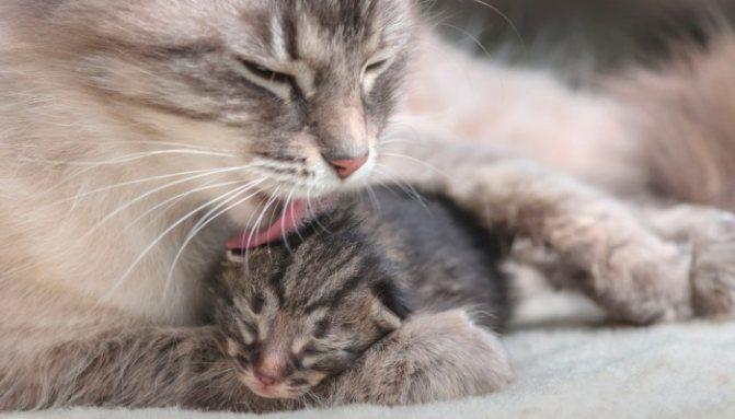 Кошка сама обеспечивает чистоту и уход котенку