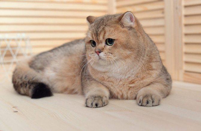 кошка шиншила