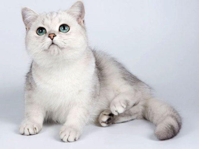 Кошка шиншилла: окрас или порода