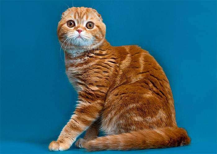 Кошка скоттиш-фолда рыжего (красного) окраса, фото фотография кошки