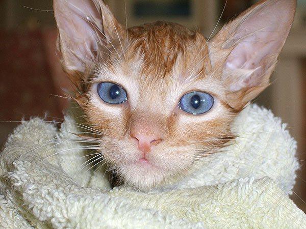 Кошка в полотенце