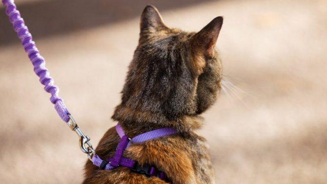 Кошка в шлейке и на поводке фото