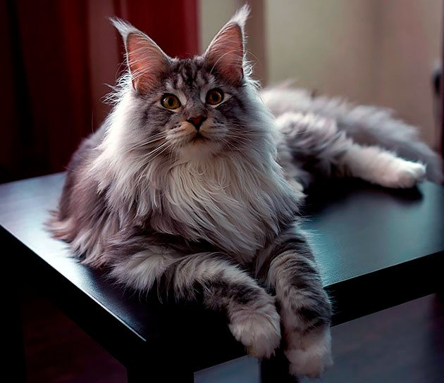 Кошке мейн-куна можно дать ласковую кличку