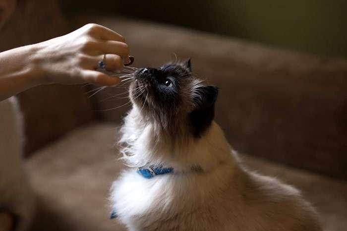 Кошке протягивают кусочек еды, фото фотография