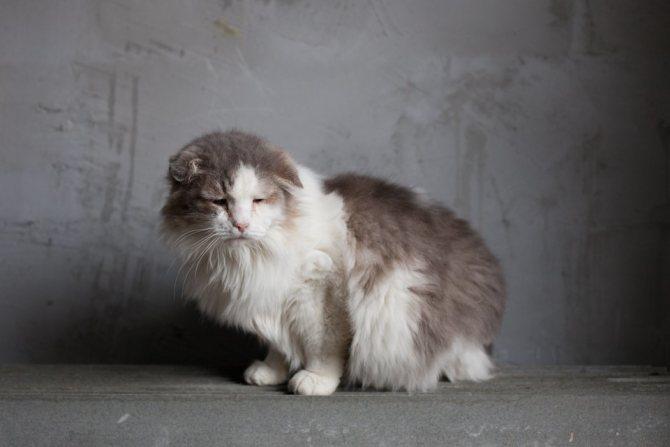 Кошки болеют пироплазмозом
