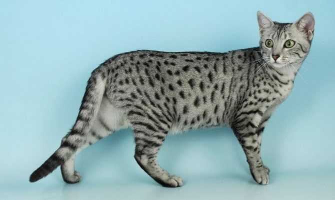 кошки египетские мау фото