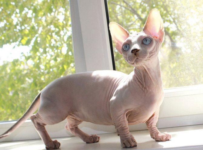 Кошки которые не линяют и не пахнут существуют ли такие породы