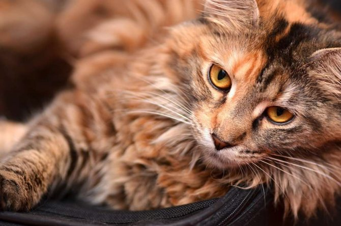 Кошки мейн-кун особенности породы
