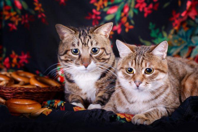 кошки породы курильский бобтейл