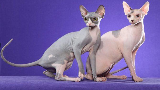 Кошки породы сфинкс всегда кажутся более горячими