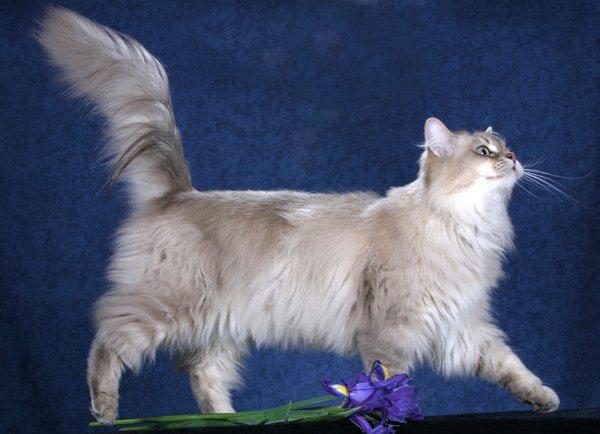 кошки породы Шантильи-Тиффани