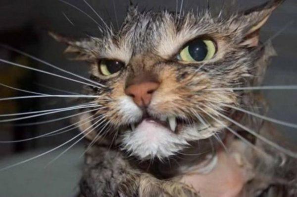 Кошки прекрасно понимают, что принятие водных ванн равнозначно неудаче не охоте, а значит, голоду