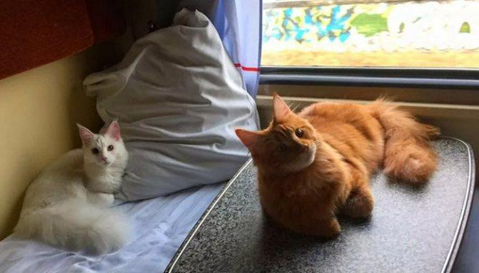 Кошки путешествуют