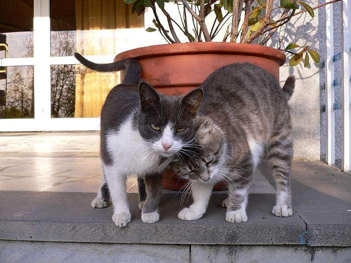 Кошки трутся друг о друга, фото фотография