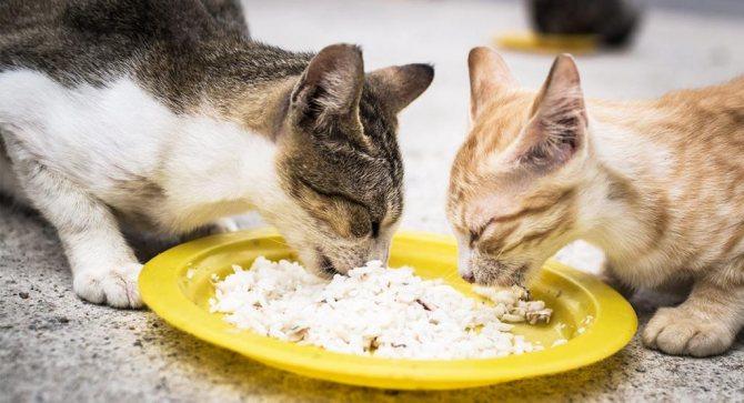 кошки в процессе еды