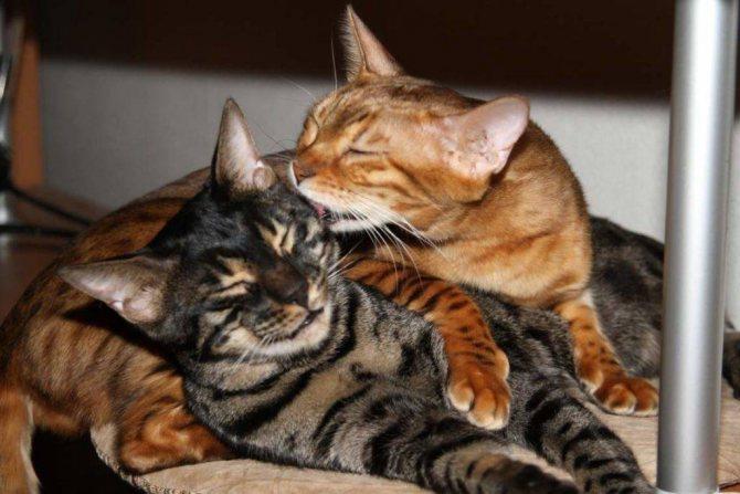кошки вместе